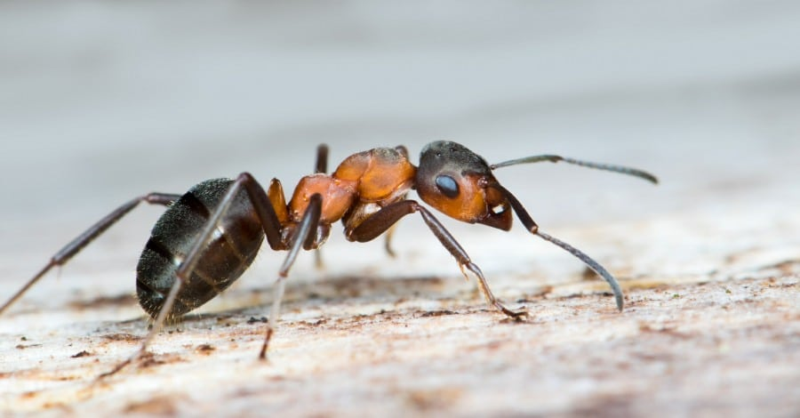 Myrmecophobia Fear of Ants - close up of an Ant