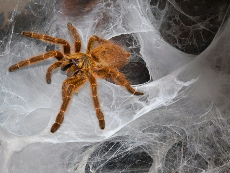 fear of spiders counselling wolverhampton - arachnophobia - tarantula in web